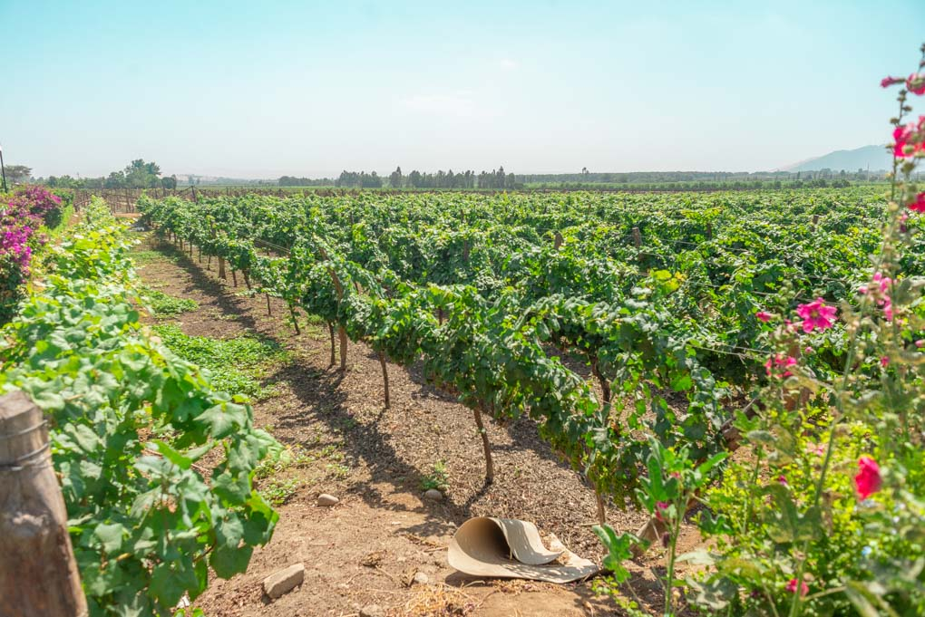 grape vines at Tacama Winery, Huacachina