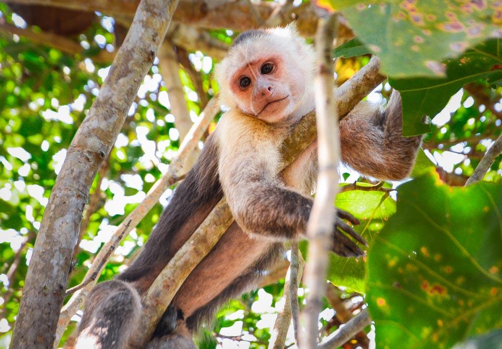 A monkey in Tayrona National Park