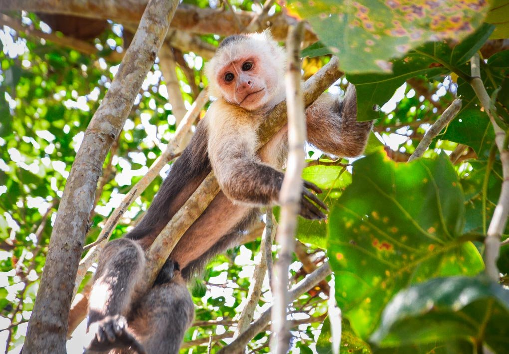 A monkey sits in a tree in Tayrona National Park