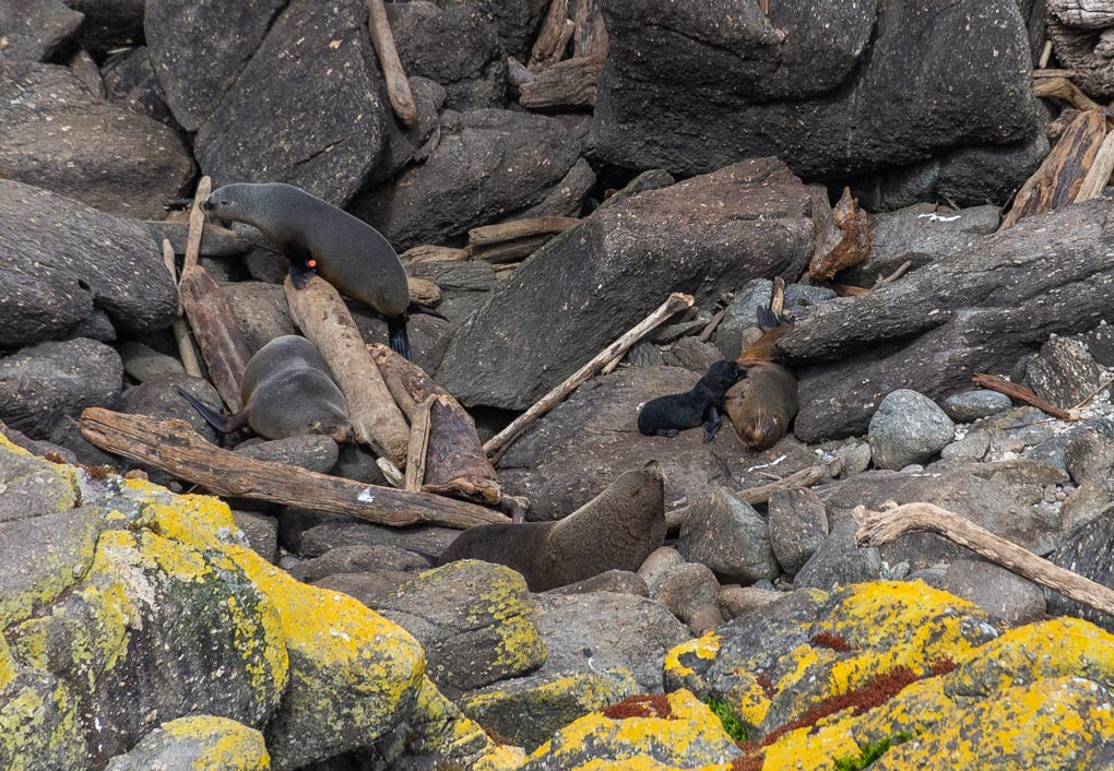 Wild seals sit on rocks at Cape Foulwind, New Zealand