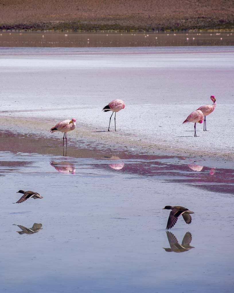 Birds and flamingos on the salt flats of Bolivia