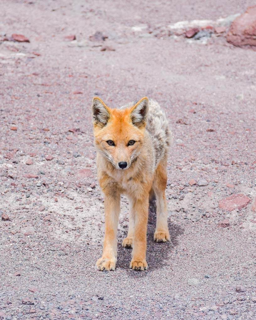 A culpeo or Andean fox on the desert area on a salt flats tour in Bolivia