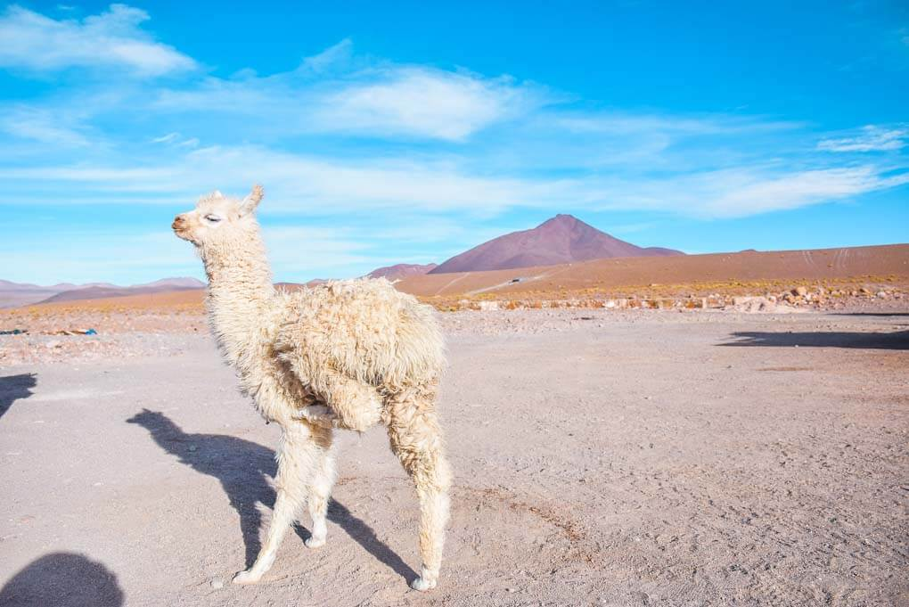 A llama poses for a photo at one of our stops on our Salar de uyuni tour