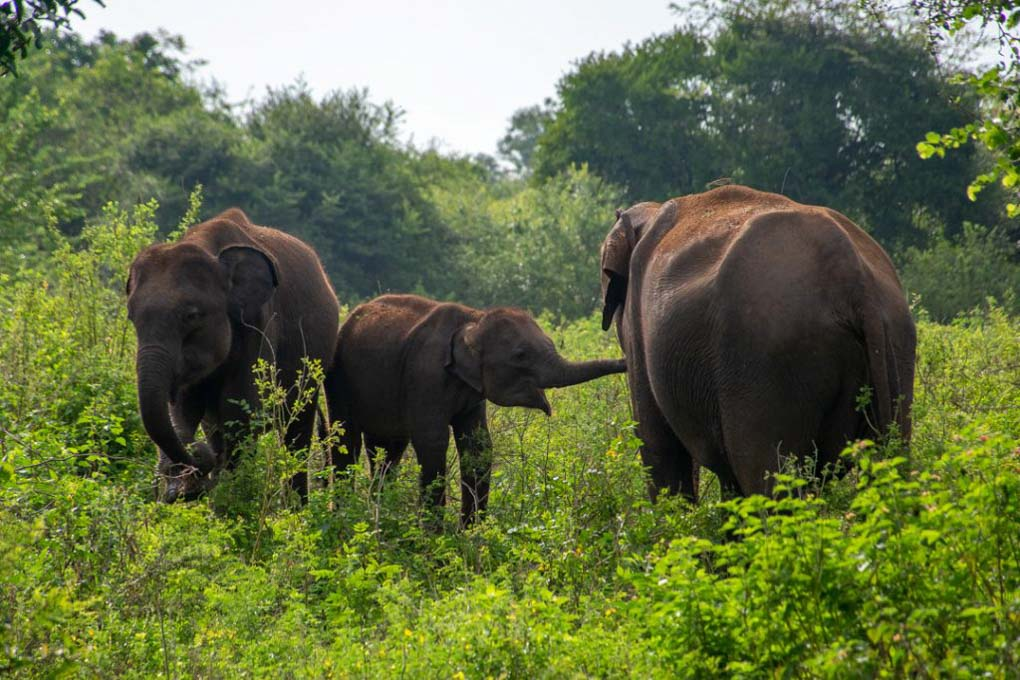 3 elephants standing toegther with a baby in Sri Lanka
