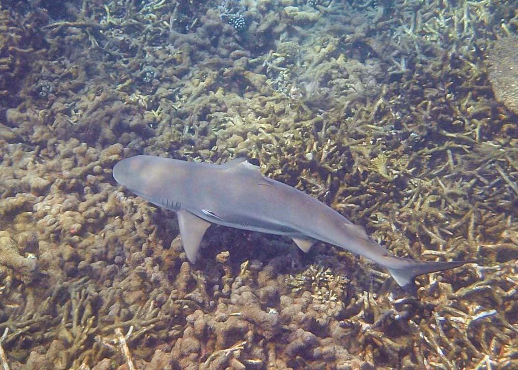A shark swims at Pigeon Island, Sri Lanka