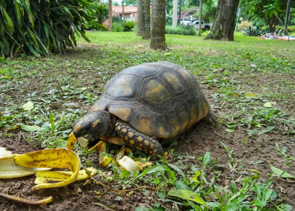 A tortoise eats in the Santa Cruz Botanical Gardens