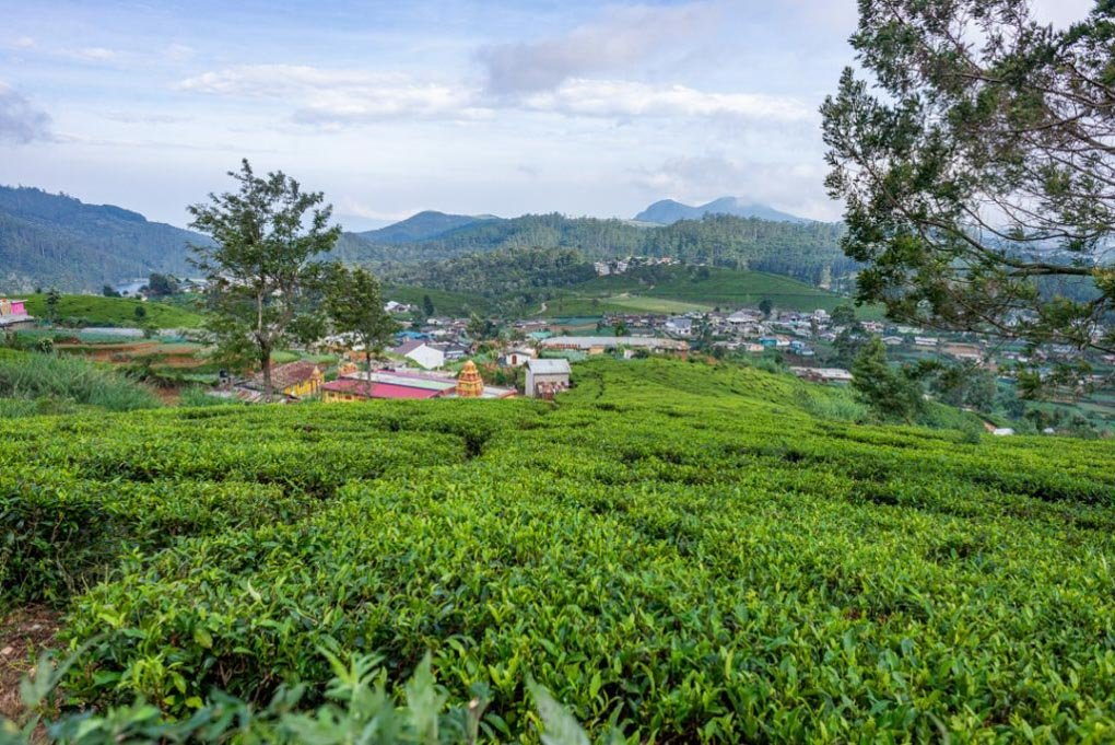 Tea fields near Nuwara Eliya
