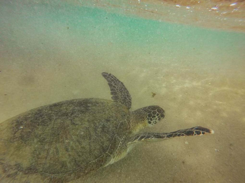 a huge sea turtle swimming