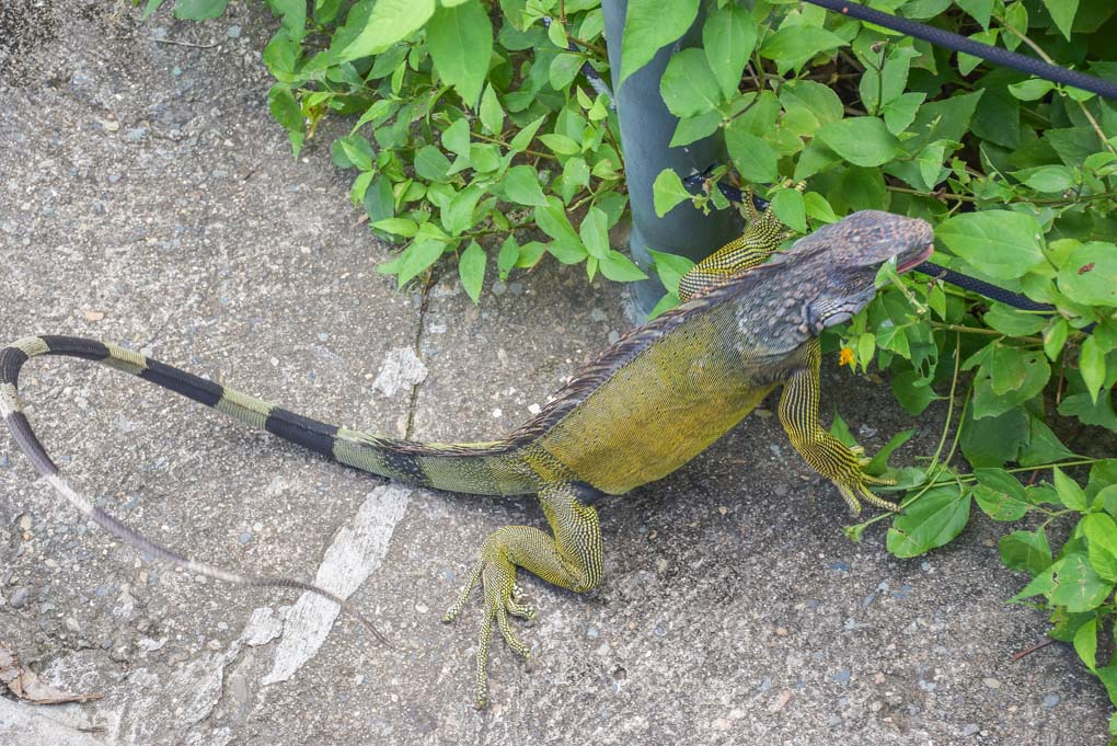 A lizard roams free at Punta Culebra Nature Center in Panama City