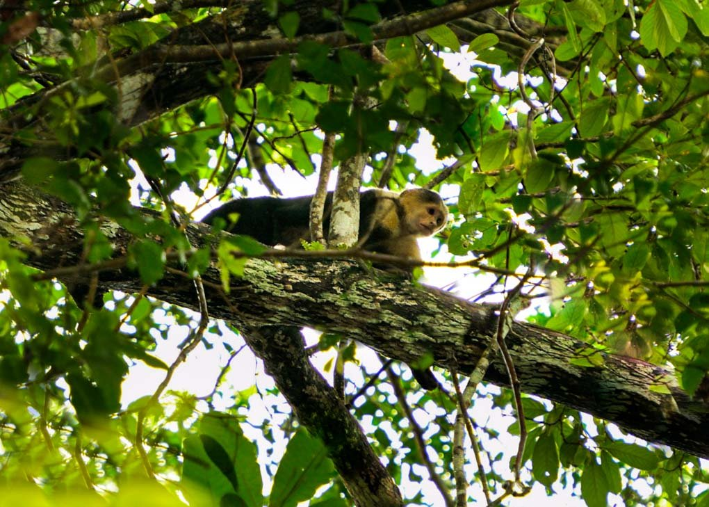 A monkey at Soberania National Park, Panama