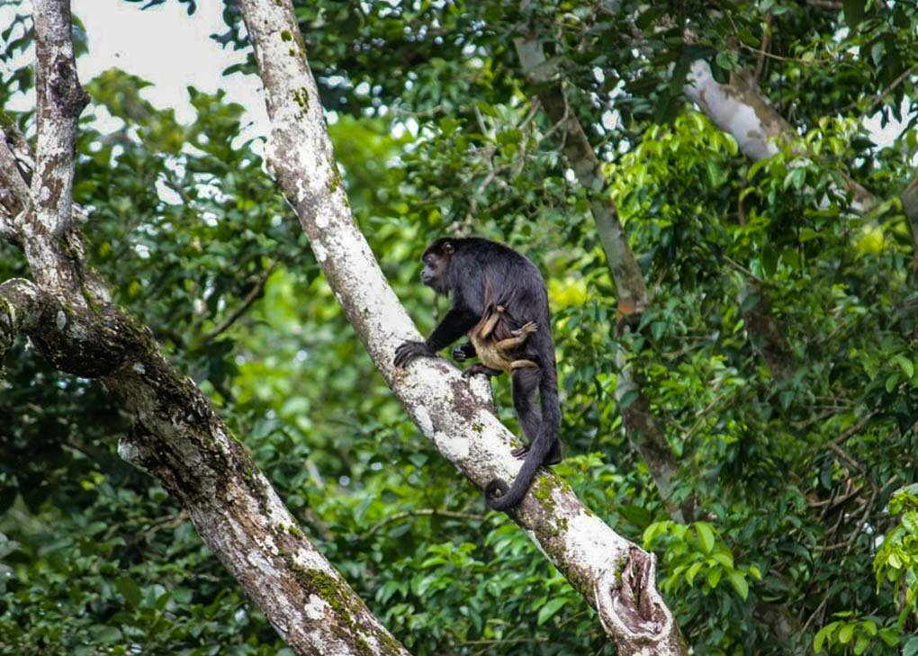 A Howler Monkey on monkey Island on a tour from Panama City, Panama