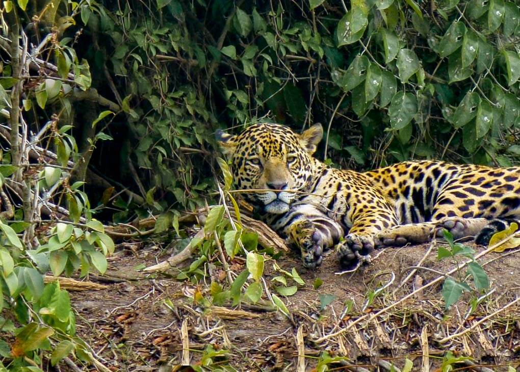 A jaguar sits on the bank of the river in Manaus in the Amazon Jungle