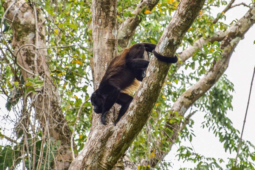 A howler monkey in Cahuita National Park