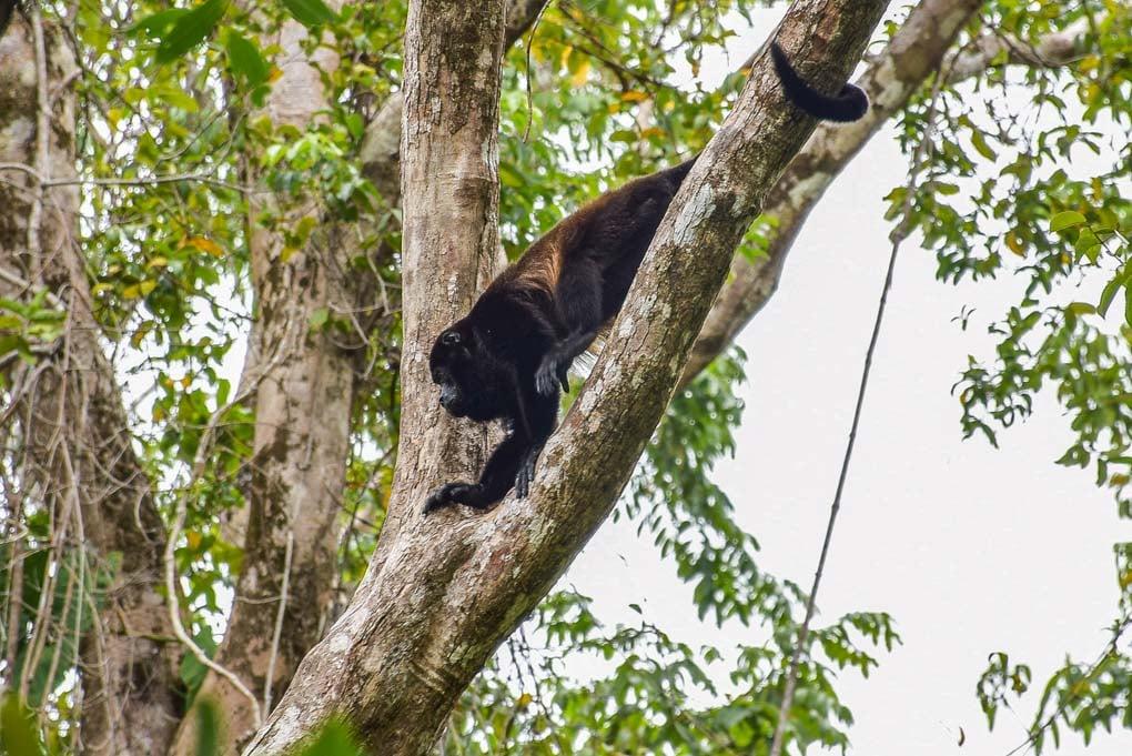 A howler monkey climbs a branch in Cahuita National Park, Costa Rica