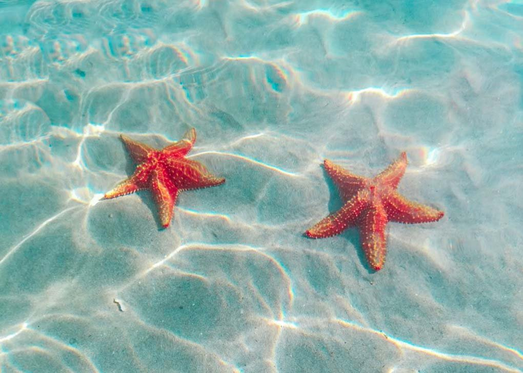 Two starfish on Starfish Beach on Bocas del Toro Isla Colon