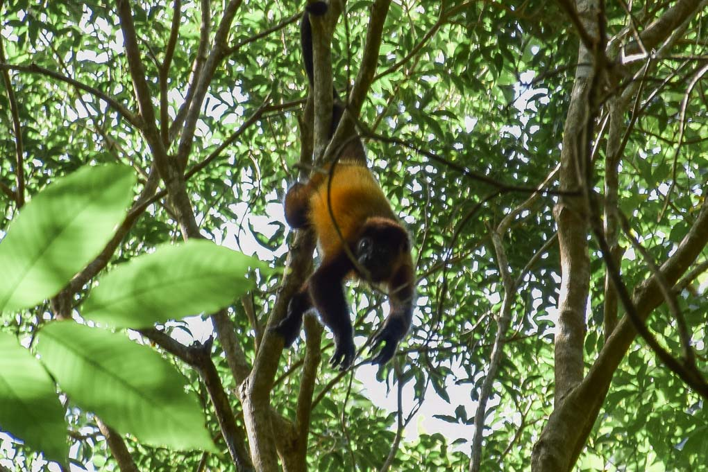 A howler monkey in a tree at Charco Verde, Ometepe