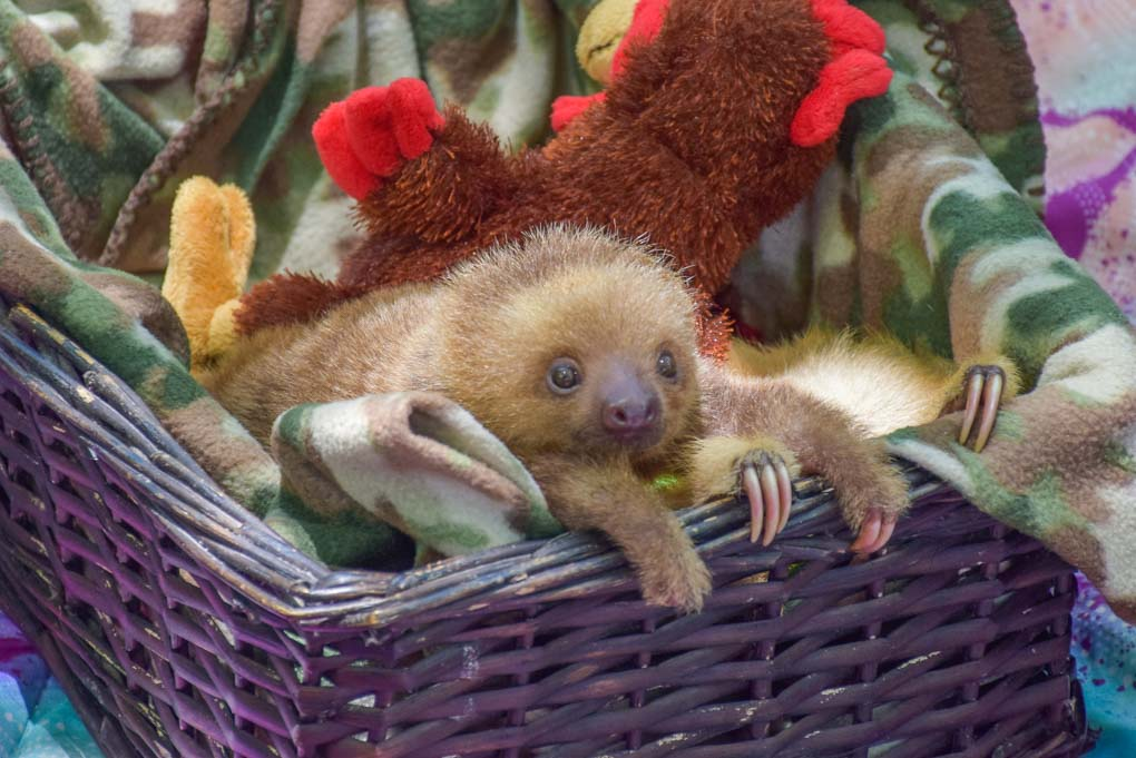 baby sloth at the Jaguar Rescue Center in Costa Rica