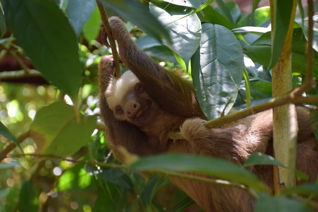 baby sloth at a sanctuary in Costa Rica