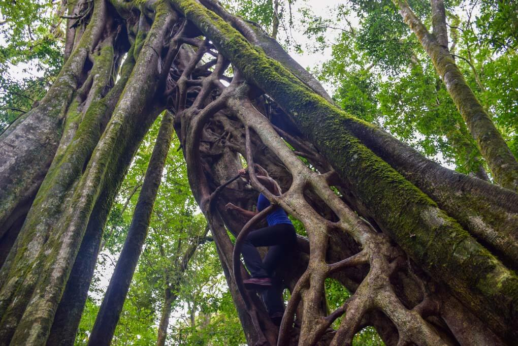 Bailey climbing the famous ficus tree in Monteverde