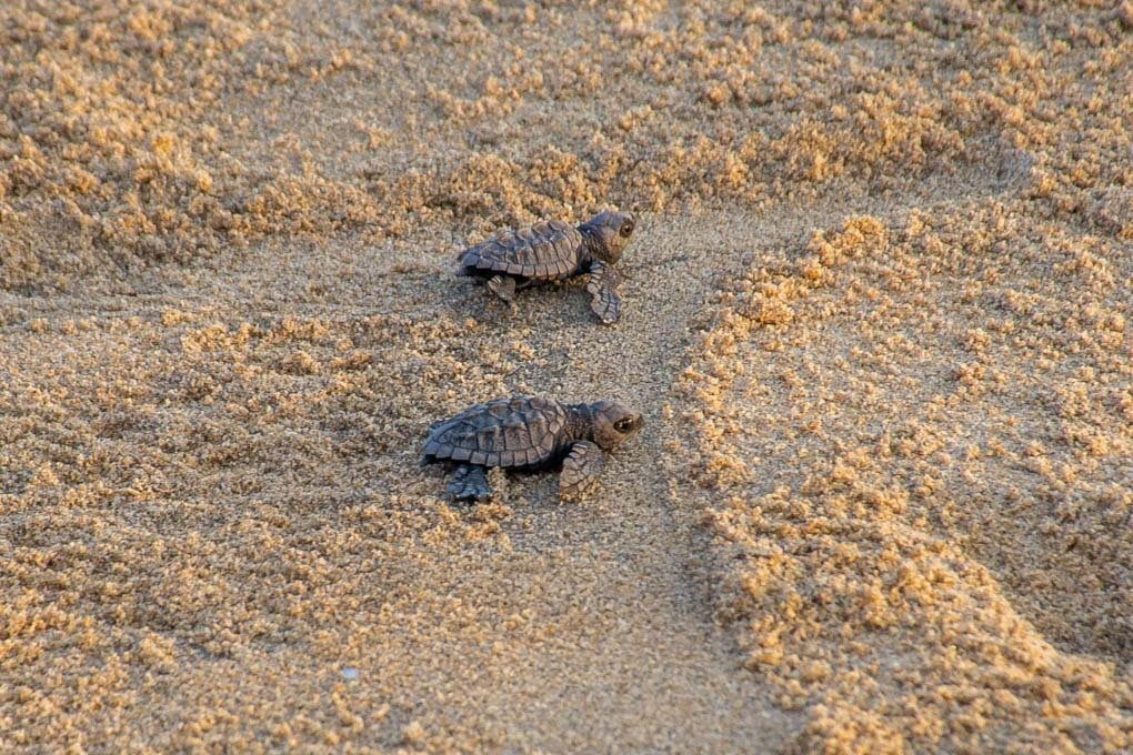 Baby turtles at La Flor Beach Reserve, Nicaragua
