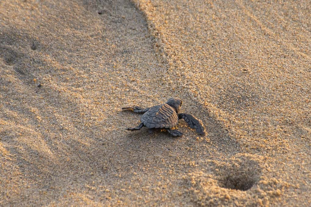 baby turtle in nicaragua