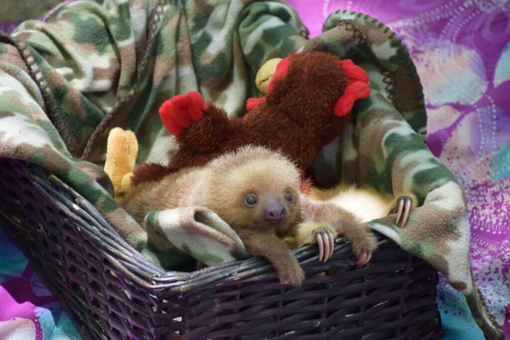 baby sloth at the jaguar resue center in Puerto Viejo, Costa rica