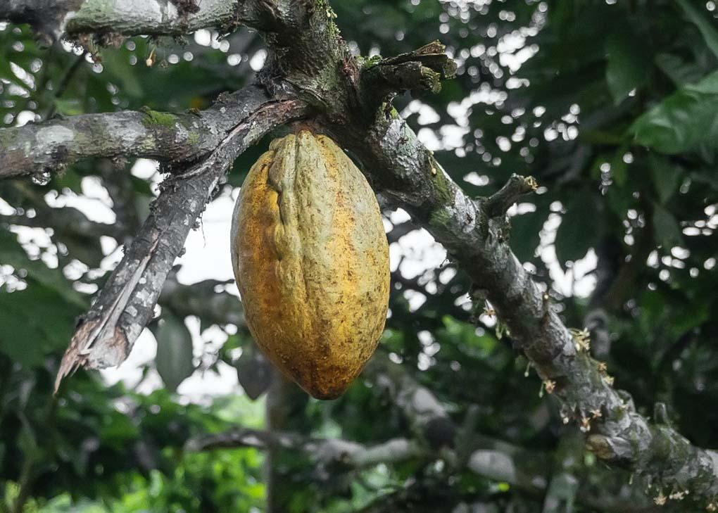 chocolate plant in costa rica