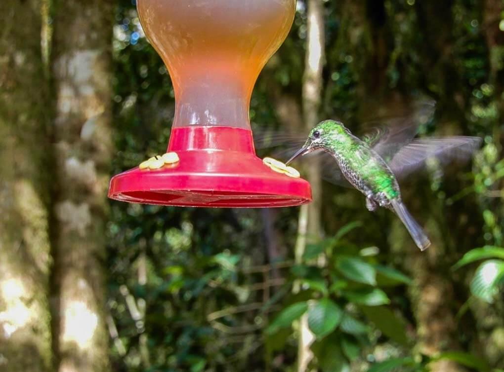A hummingbird eats in the Hummingbird Garden in Monteverde, Costa Rica