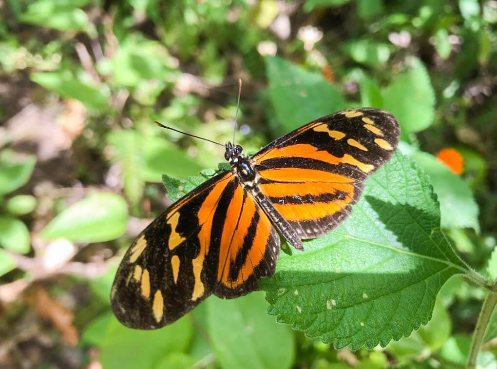 A butterfly sits on a leaf in the Monteverde Butterfly Garden