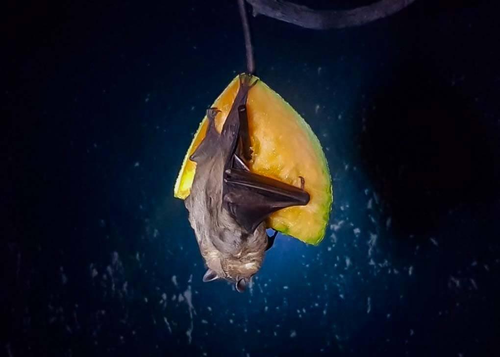 A bat eats fruit in the Bat Jungle in Monteverde, Costa Rica