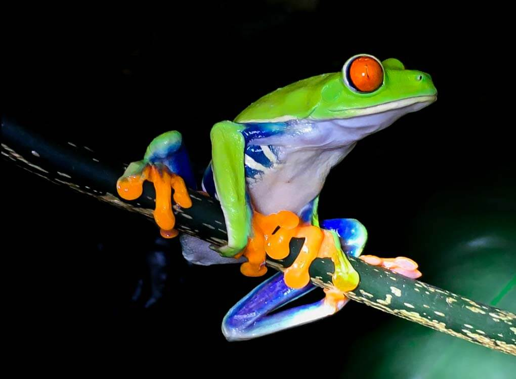 Red eyed green tree frog at the Frog Pond in Monteverde