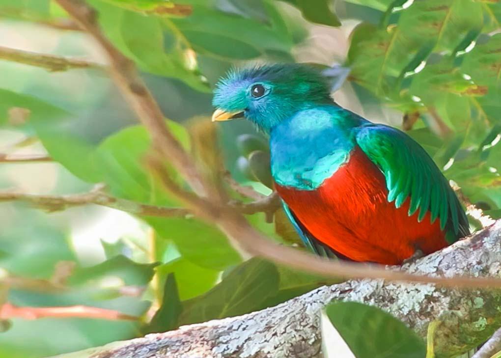 The Famous Quetzal in Monteverde!