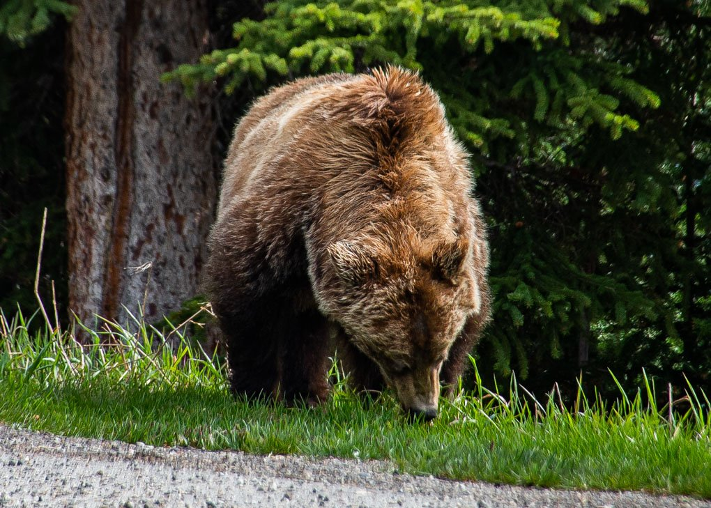 A grizzly beary in Jasper National Park east some grass
