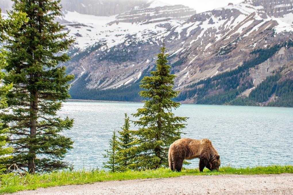 A bear eats grass at the Bow Lake viewpoint