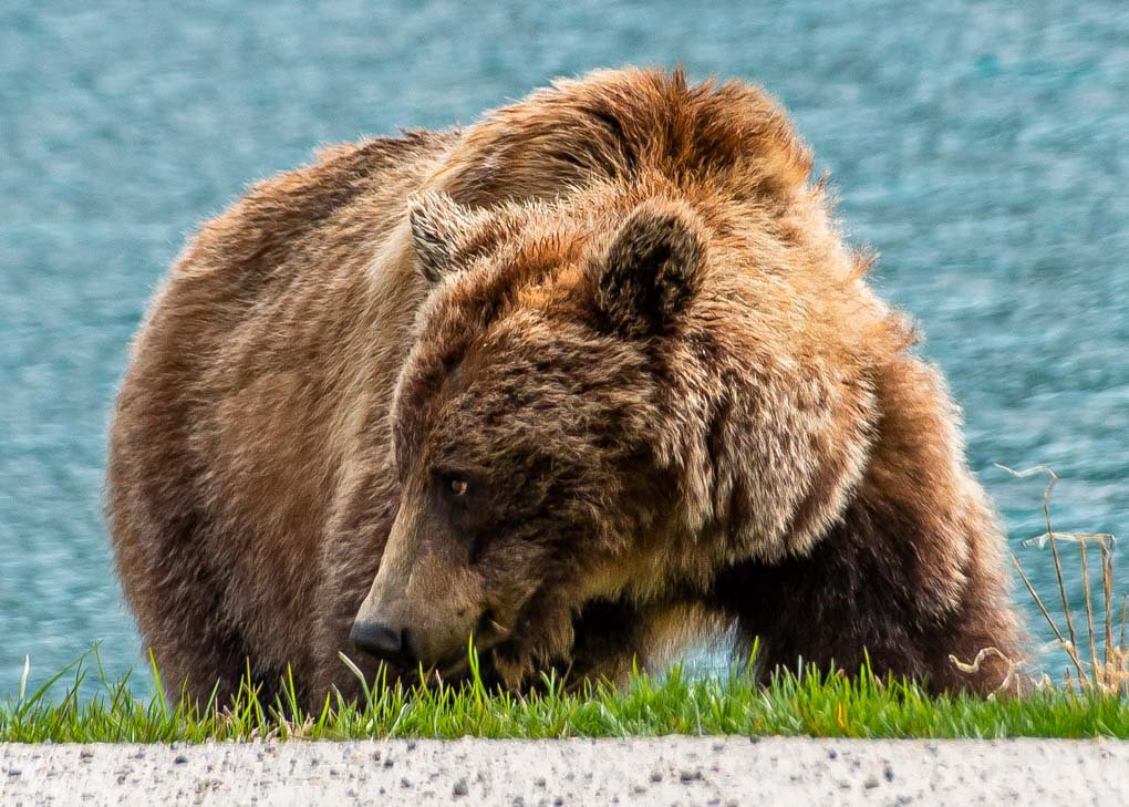 A grizzly bear in Jasper National park on a wildlife tour