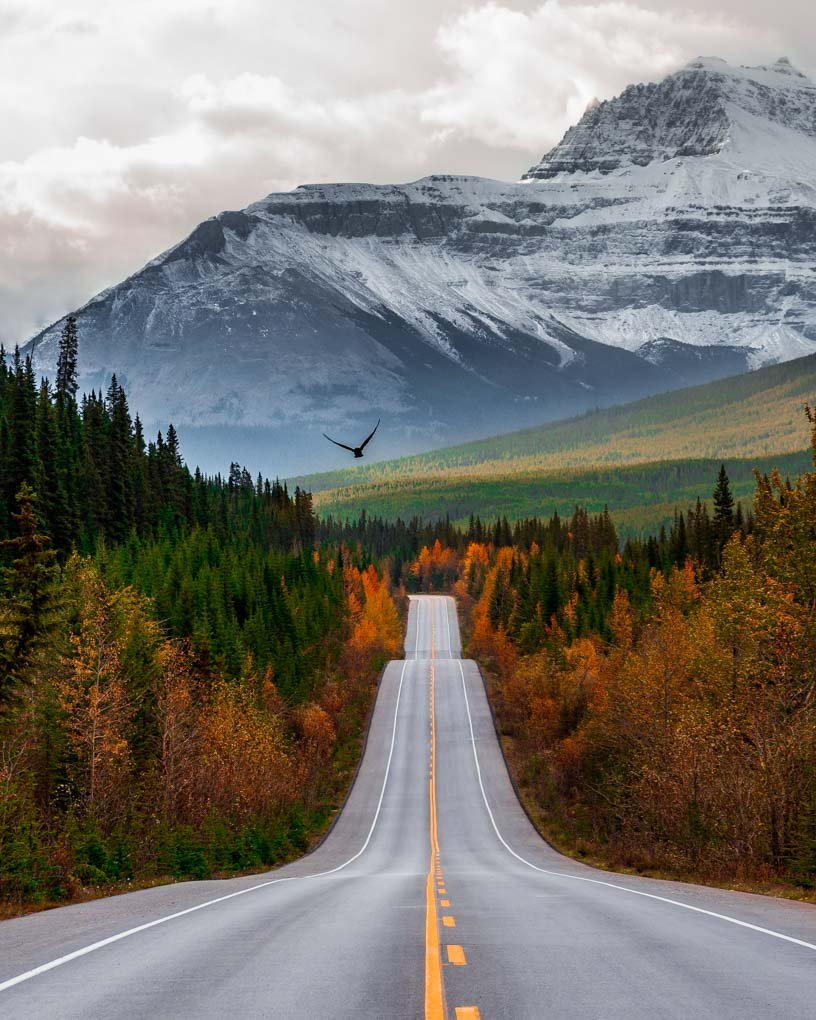 A bird flys over the road on the Icefields Parkway with the mountinas and trees in the background.