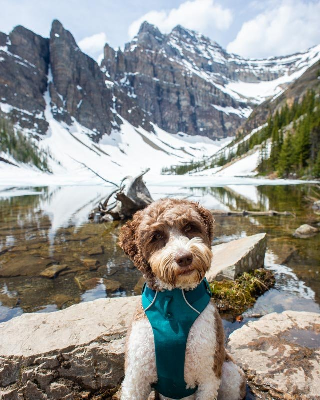 A dog poses for a photo at Lake Agnes on a sunny summers day in Banff National Park