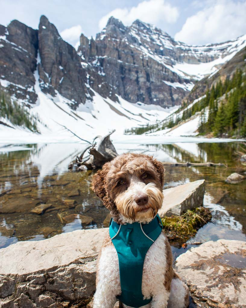 A dog poses for a photo at Lake Agnes