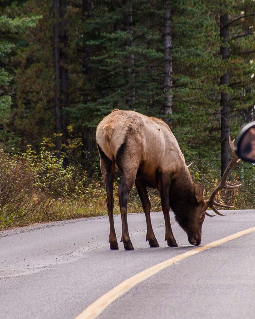 An elk stands on the road in Banff National Park