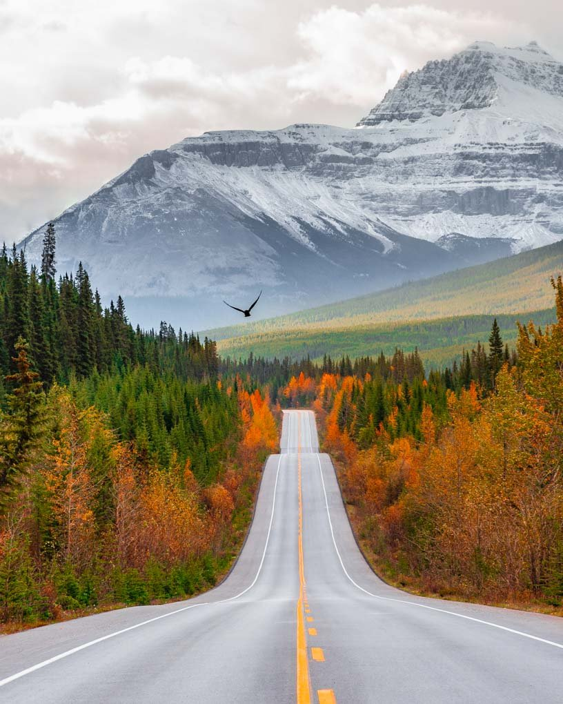 A bird flys over the road on the Icefields Parkway in Banff National Park in fall