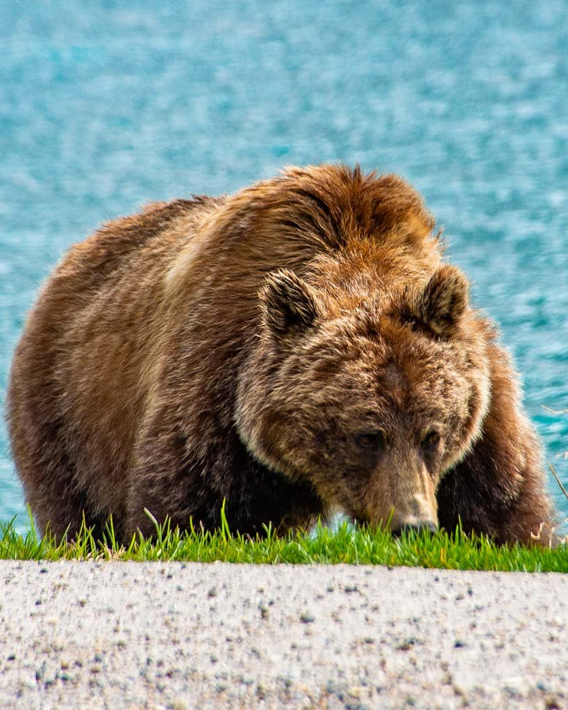 A grizzly Bear on the Icefields Parkway duirng a wildlife tour in Banff