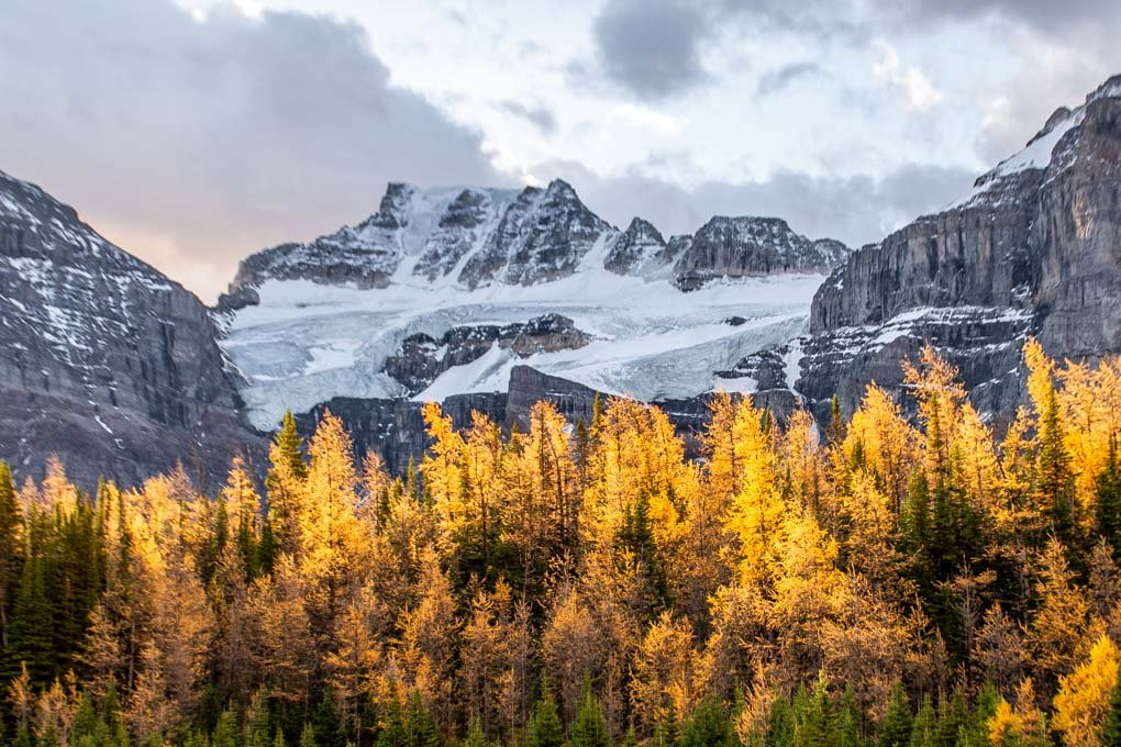 Larch trees with a moutain backdrop on the Larch Valley Trail during fall in Banff