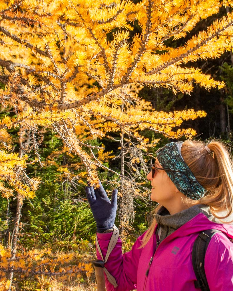 A lady inspects a larch tree on the Larch Valley Trail in Banff National Park
