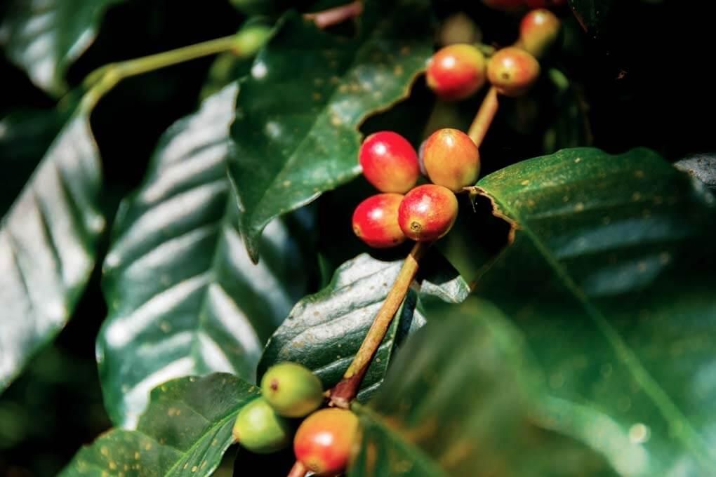 Coffee bean in Viñales, Cuba