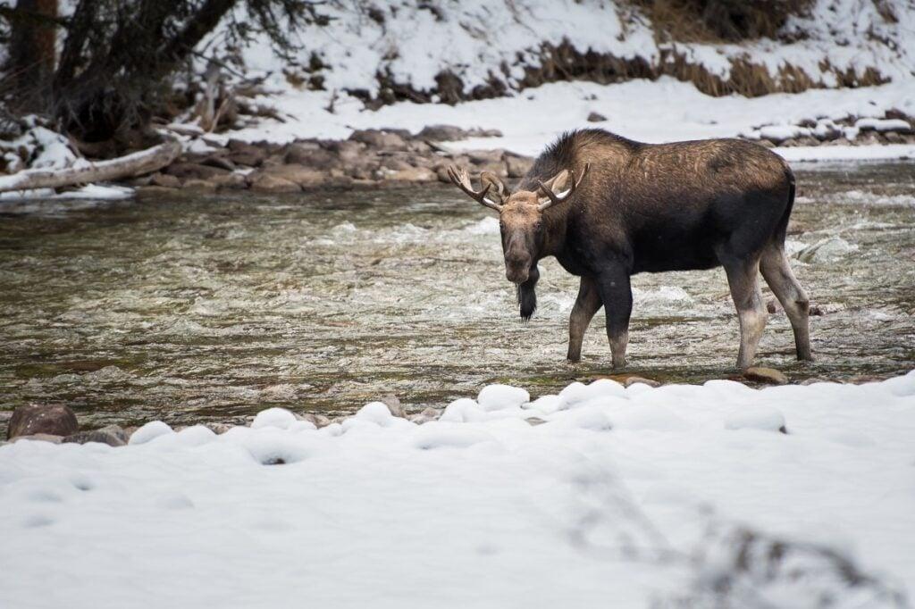 a moose in the winter in Jasper National Park