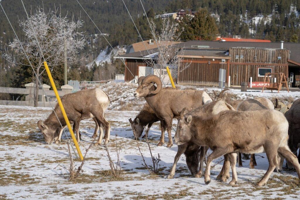 bighorn-sheep-in-radium-BC-min