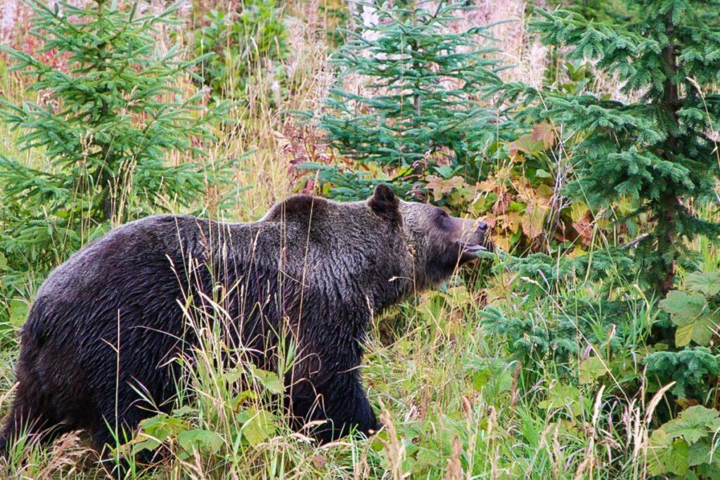 Boo the bear in Golden, BC