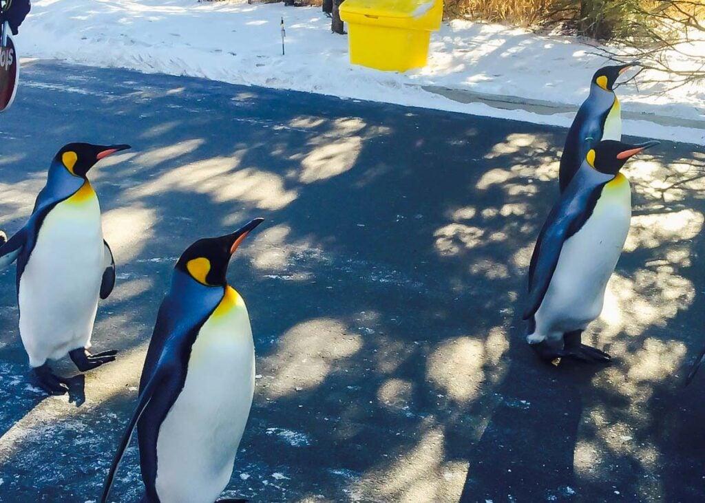 King Penguins at the Calgary Zoo