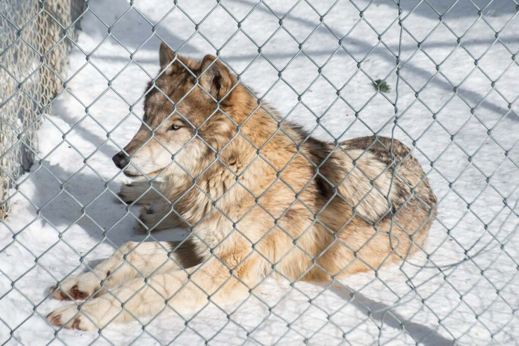 A wolf at the Northen Lights Wolf Center in Golden, BC