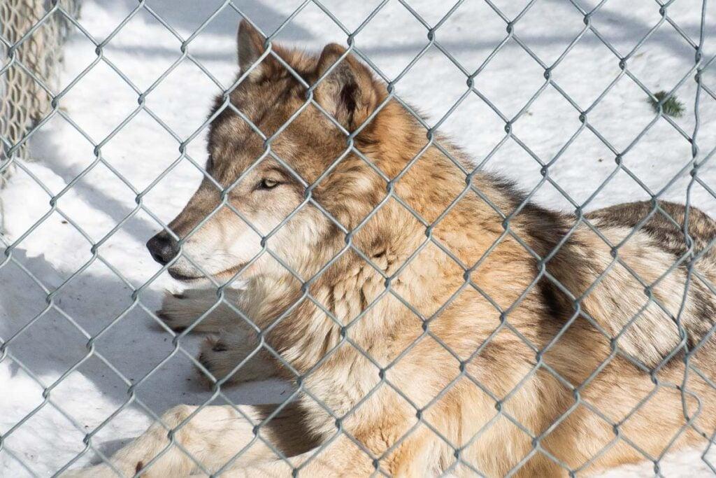 A wolf at the Yamnuska Wolfdog Sanctuary
